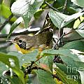 Juvenile Common Yellowthroat by Cheryl Baxter