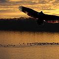 Juvenile Eagle Golden Sunset by Randall Branham