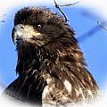 Juvenile Eagle by Rennae Christman