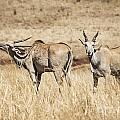 Juvenile Eland by Douglas Barnard