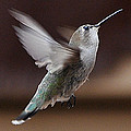 Juvenile Female Anna's Hummingbird In Flight by Jay Milo