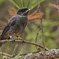 Juvenile Gray Jay by Steve Dunsford