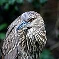 Juvenile Heron by Paulette Thomas