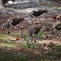 Juvenile Ibis by Robert Floyd