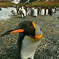 Juvenile King Penguin by Amanda Stadther
