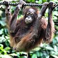Juvenile Orangutan Borneo by Carole-Anne Fooks