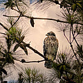 Juvenile Red Shouldered Hawk 06.07.2014 by Jai Johnson