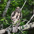 Juvenile Red Shouldered Hawk 06.13.2014 by Jai Johnson
