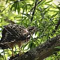 Juvenile Red Shouldered Hawk On Branch by Jai Johnson