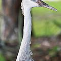 Juvenile Sandhill Crane Grus Canadensis Pratensis I Usa by Sally Rockefeller