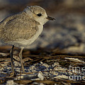 Juvenile Snowy Plover Photo by Meg Rousher