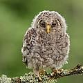 Juvenile Ural Owl by Erik Mandre