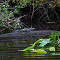 Juvie Gator by DigiArt Diaries by Vicky B Fuller