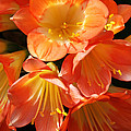 Kaffir Lily by Judy Whitton