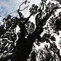 Kahikatea New Zealand Native Tree by Amanda Stadther