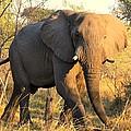 Kalahari Elephant by Amanda Stadther