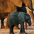 Kalahari Elephants by Amanda Stadther