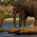 Kalahari Elephants Preparing To Cross Chobe River by Amanda Stadther
