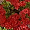 Kalanchoe Flowers by Linda Brody