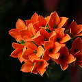 Kalanchoe by Jeffrey Peterson