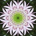 Kaleidoscope Pink Daisy by Carol Groenen