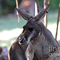 Kangaroo-10 by Gary Gingrich Galleries