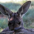Kangaroo-4 by Gary Gingrich Galleries