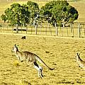 Kangaroo Hop by Evan Peller
