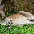 Kangaroo Manicure  by Harry Spitz
