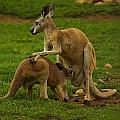 Kangaroo Nursing Its Joey by Chris Flees