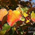 Kansas Fall Leaves Close Up by Robert D  Brozek