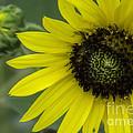 Kansas State Flower by Fred Lassmann
