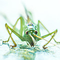 Katydid by Carl Engman