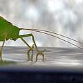 Katydid Reflection by Maria Urso