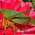 Katydid by Rob Michels