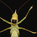Katydid Underside Ecuador by Pete Oxford