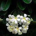 Kawela Plumeria by James Temple