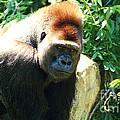 Kc Gorilla-3 by Gary Gingrich Galleries