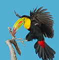 Keel-billed Toucan About To Land by Anthony Mercieca