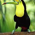 Keel-billed Toucan  by Gerry Ellis