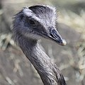 Keep In View - Emu Portrait by Christiane Schulze Art And Photography