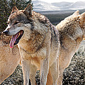 Keeping Watch - Pair Of Wolves by Gill Billington