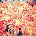 Keepsake Chrysanthemum  by Debra  Miller