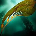 Kelp Forest by Ethan Daniels