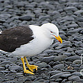 Kelp Gull by John Shaw