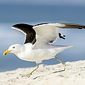 Kelp Gull Taking Off by Peter Chadwick