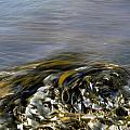 Kelp In Sea by IB Photo