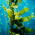 Kelp Two by SFPhotoStore