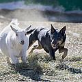 Kelpie Dog by Dianne Phelps