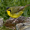 Kentucky Warbler by Anthony Mercieca